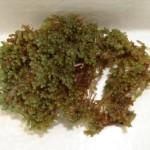 Laurencia catarinensis