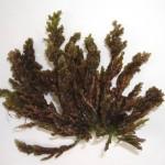 Laurencia dendroidea